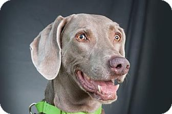 Weimaraner Dog for adoption in Loxahatchee, Florida - Harley
