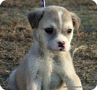 Australian Shepherd/Labrador Retriever Mix Puppy for adoption in PRINCETON, Kentucky - BOOMER/ADOPTED