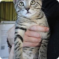 Domestic Shorthair Kitten for adoption in Los Angeles, California - Jess
