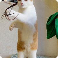 Adopt A Pet :: Augustus - Prescott, AZ
