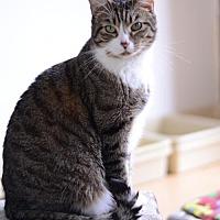 Domestic Shorthair Cat for adoption in Atlanta, Georgia - Mario 14053