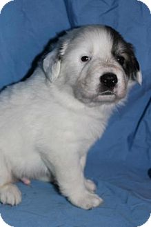 Great Pyrenees Mix Puppy for adoption in Stilwell, Oklahoma - Huck