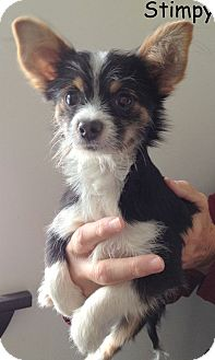 Chihuahua Puppy for adoption in New Jersey, New Jersey - Bricktown NJ - Stimpy