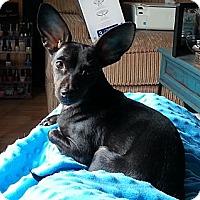 Adopt A Pet :: Bella - Poulsob, WA