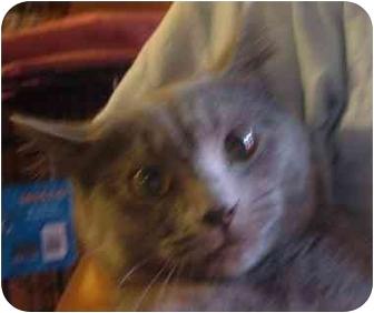 Domestic Shorthair Kitten for adoption in Bedford, Massachusetts - Serena
