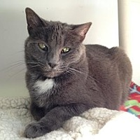 Domestic Shorthair Cat for adoption in Denver, Colorado - Whoopi