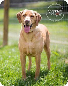 Labrador Retriever Mix Dog for adoption in Westminster, Maryland - Norma Jean