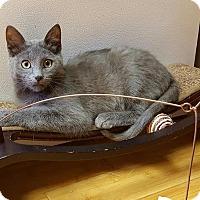 Russian Blue Kitten for adoption in Hazel Park, Michigan - Patrick Swayze
