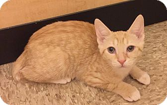 Domestic Shorthair Cat for adoption in Apex, North Carolina - Bronzer