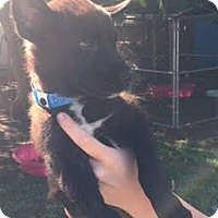 Adopt A Pet :: Okami - Aurora, CO