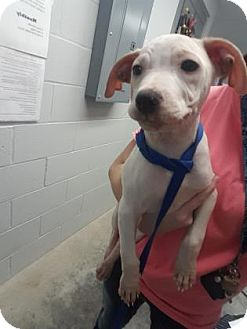 Pit Bull Terrier/Labrador Retriever Mix Puppy for adoption in Paducah, Kentucky - Riff