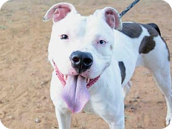 American Staffordshire Terrier Mix Dog for adoption in Tallahassee, Florida - INDIGO