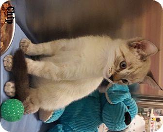Siamese Kitten for adoption in Fullerton, California - Chip