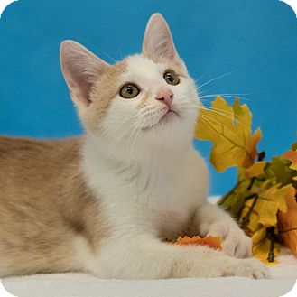 Domestic Shorthair Kitten for adoption in Houston, Texas - Enchilada