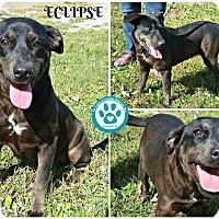Adopt A Pet :: Eclipse - Kimberton, PA