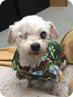 Maltese Mix Dog for adoption in Sherman Oaks, California - Olaf