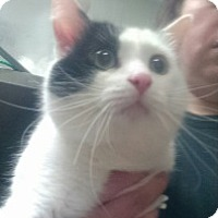 Adopt A Pet :: Boo - Saginaw, MI