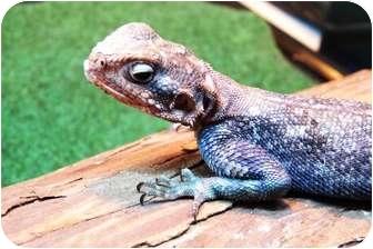 Lizard for adoption in Richmond, British Columbia - Harold