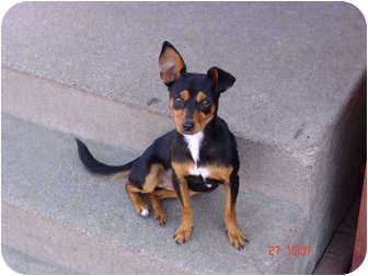 Miniature Pinscher/Chihuahua Mix Dog for Sale in West Los Angeles