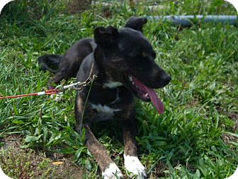 Border Collie/Beagle Mix Dog for adoption in Windsor, Missouri - Piper