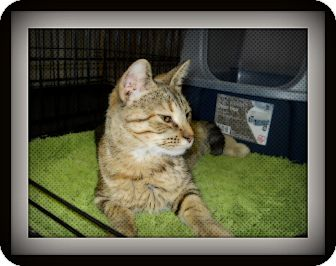 Domestic Shorthair Cat for adoption in Medford, Wisconsin - TIA