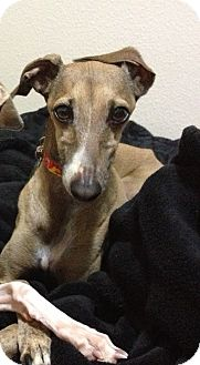 Italian Greyhound Dog for adoption in San Diego, California - Rico - SD