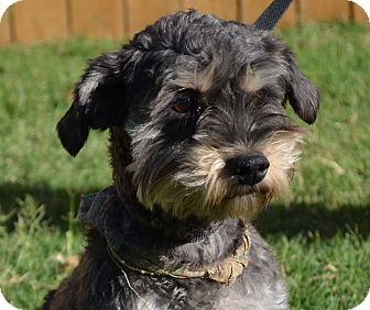 Yorkie, Yorkshire Terrier/Schnauzer (Miniature) Mix Dog for adoption in Norman, Oklahoma - Benji