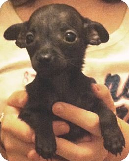Chihuahua Puppy for adoption in Orlando, Florida - Anna#6F