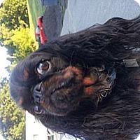 Adopt A Pet :: Lola - Cumberland, MD