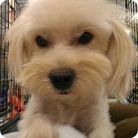 Adopt A Pet :: Edmond - NON SHED! - Phoenix, AZ