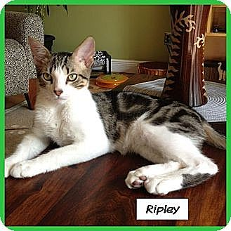 Domestic Shorthair Cat for adoption in Miami, Florida - Ripley