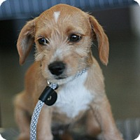 Adopt A Pet :: Chicki's Puppies! - Canoga Park, CA