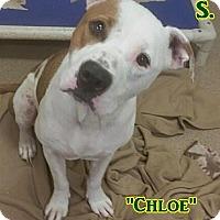 Adopt A Pet :: 1-3 Chloe - Triadelphia, WV