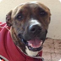 Adopt A Pet :: Piper!  Obedient! - St Petersburg, FL
