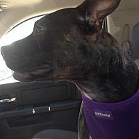 Adopt A Pet :: Lulu - Alvarado, TX