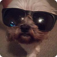 Shih Tzu Mix Dog for adoption in Houston, Texas - Kai