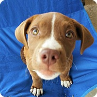 Hound (Unknown Type)/Pit Bull Terrier Mix Puppy for adoption in Wichita Falls, Texas - Uhura