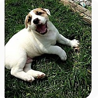 Adopt A Pet :: Bugsy - St Louis, MO