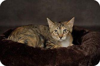 Domestic Shorthair Kitten for adoption in Salt Lake City, Utah - Chrissy
