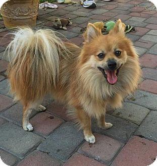 Pomeranian Dog for adoption in Costa Mesa, California - Poppit