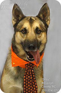 Belgian Malinois Mix Dog for adoption in Newnan City, Georgia - Nico