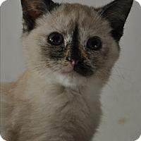 Siamese Kitten for adoption in La Canada Flintridge, California - Skippy