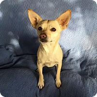 Chihuahua Mix Dog for adoption in Temecula, California - Beaker