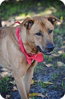 Labrador Retriever Mix Dog for adoption in Loxahatchee, Florida - Boss