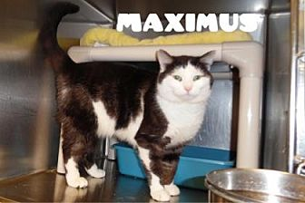 Domestic Shorthair Cat for adoption in Anderson, Indiana - Maximus