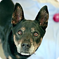 Adopt A Pet :: Calliope - Kettering, OH