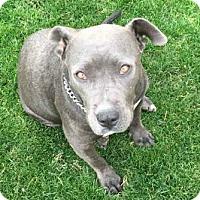 Adopt A Pet :: Shelby - Gilbert, AZ