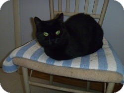 Domestic Shorthair Cat for adoption in Hamburg, New York - Misty