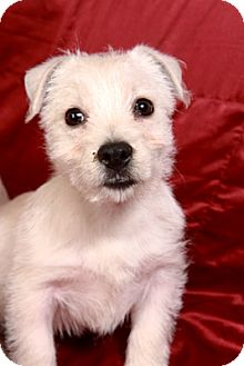 Westie, West Highland White Terrier Puppy for adoption in St. Louis, Missouri - Barry Snow West