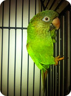 Conure for adoption in Punta Gorda, Florida - George